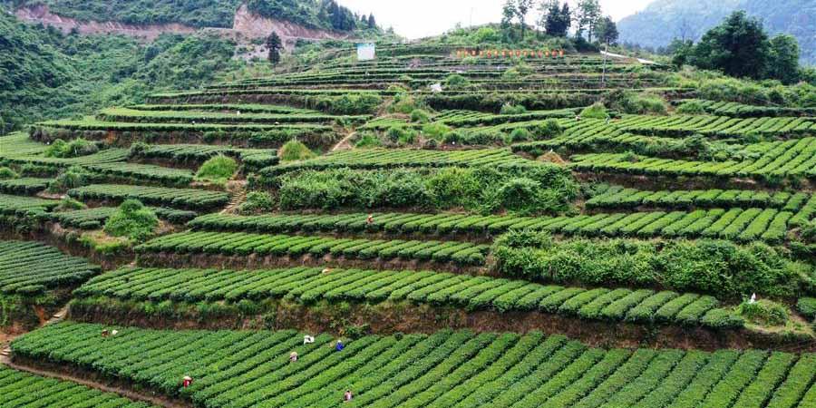 Agricultores colhem folhas de chá em Chongqing