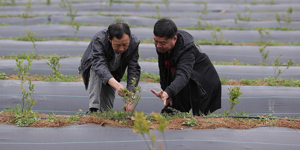 Indústria de mirtilo aumenta a renda dos moradores da aldeia de Shizui em Sichuan