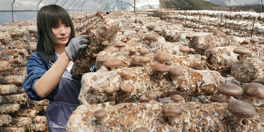 Cultivo de cogumelos ajuda agricultores a se livrarem da pobreza em Qinglong, província de Hebei