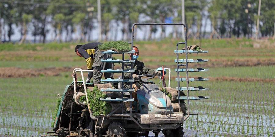 Agricultores plantam mudas de arroz em Shenyang, nordeste da China