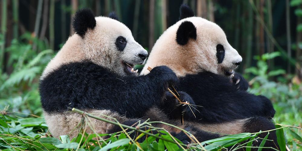 Fotos: pandas-gigantes no Parque Safári Chimelong em Guangzhou