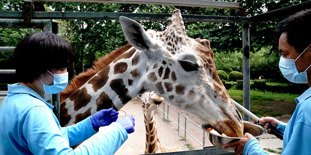 Veterinários realizam exames de rotina em animais no Zoológico de Shanghai