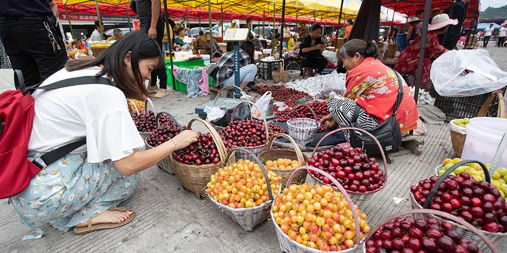 Cultivo de cereja impulsiona economia local em Hanyuan, província de Sichuan