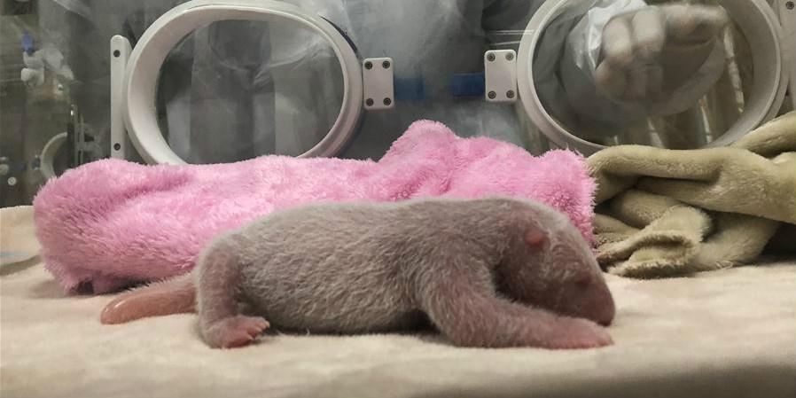Fotos: filhote de panda-gigante mais pesado nascido em base de criação da China