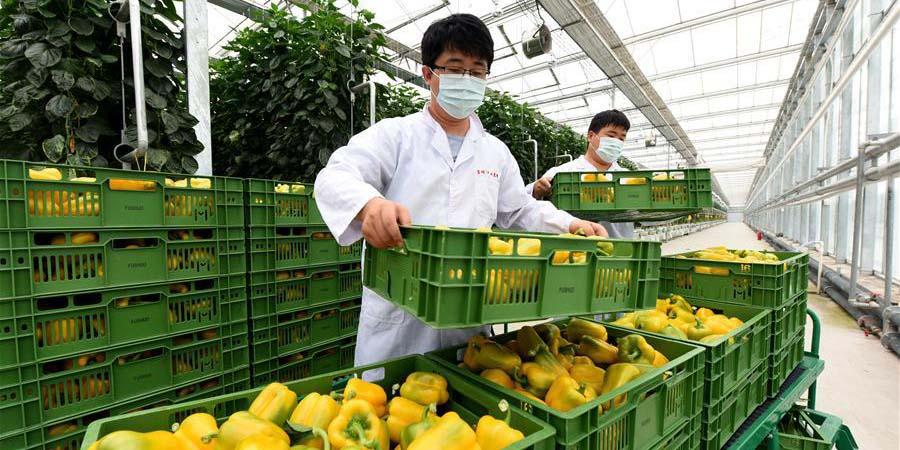 Província de Hebei ajuda a reabastecer suprimentos de vegetais a Beijing