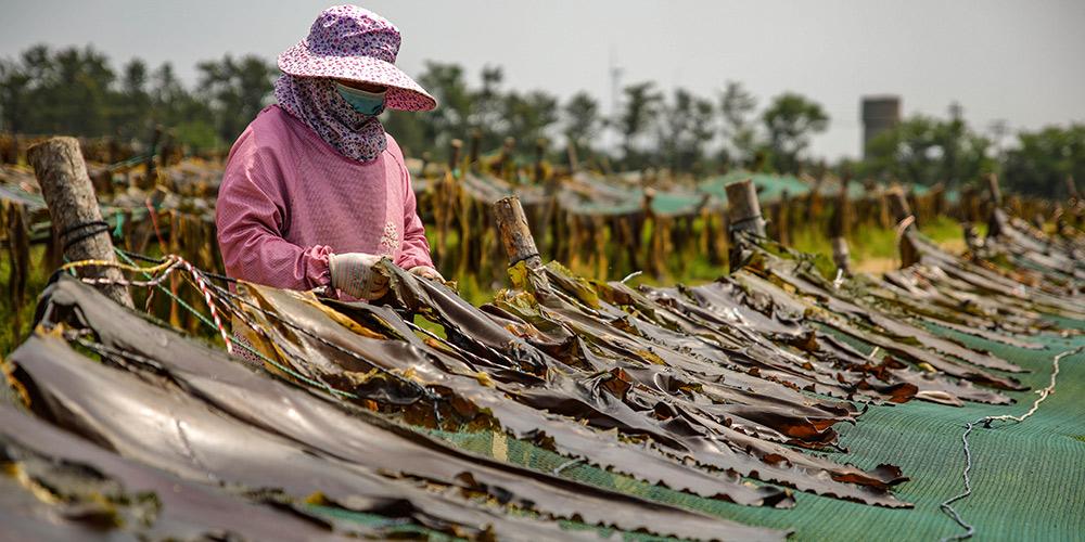 Alga marinha entra na época de colheita em Shandong