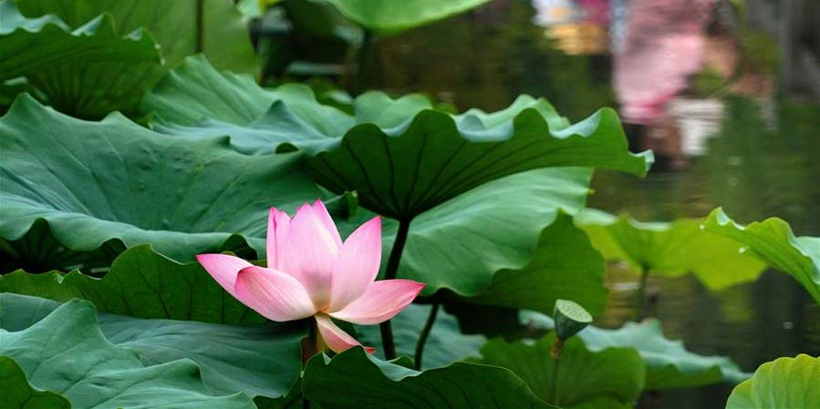 Visitantes apreciam flores de lótus no parque Zijingshan em Zhengzhou