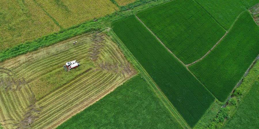 Agricultores colhem arroz em Hunan