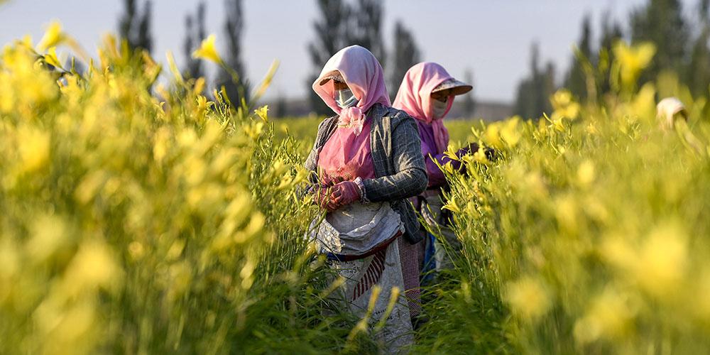 Agricultores colhem flores de hemerocallis no distrito de Yanchi