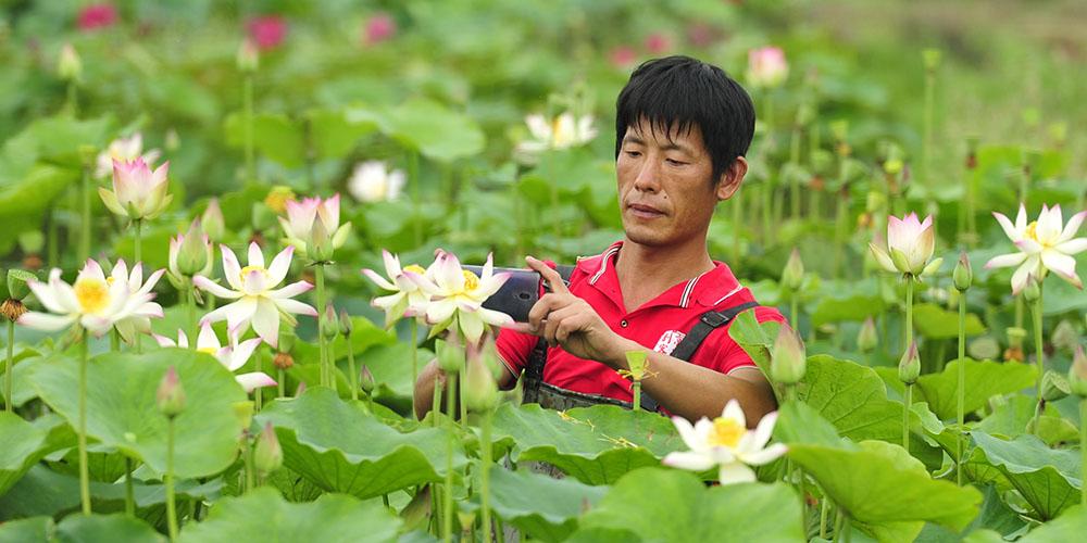Agricultor de Hebei cultiva novas variedades de lótus