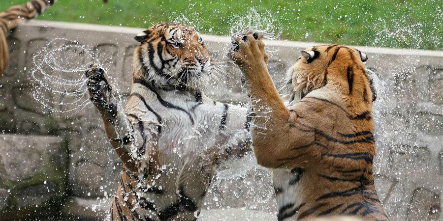 Tigres siberianos se refrescam durante onda de calor em Heilongjiang, nordeste da China