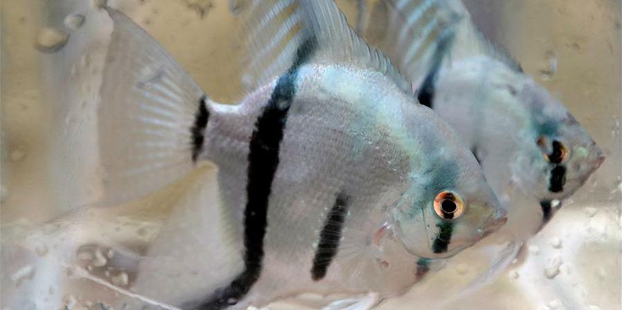 Aldeões em Liaoning dedicam-se ao cultivo de peixes ornamentais para aumentar a renda