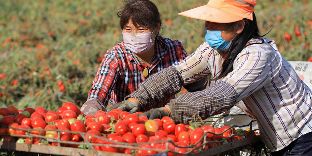 Aberta a temporada de colheita do tomate em Xinjiang