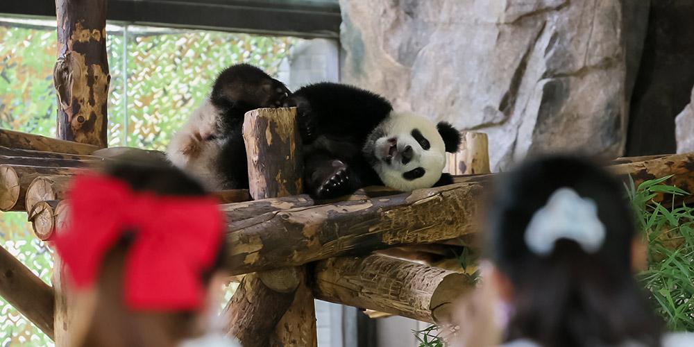 Panda-gigante Shuangxin comemora 9 anos de vida em Xining