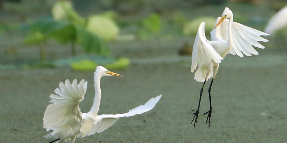 Garças em pântano na vila de Maba, província de Jiangsu