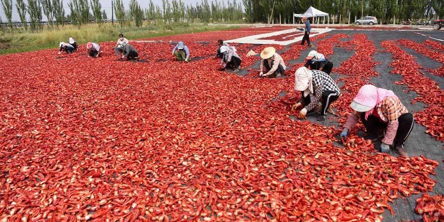 Agricultores colhem pimentas-malagueta em Xinjiang