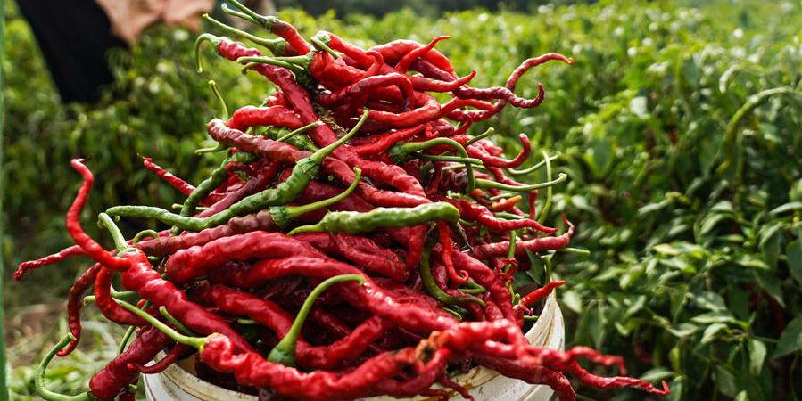 Pimenta-malagueta entra na temporada de colheita na aldeia de Tiangai, noroeste da China
