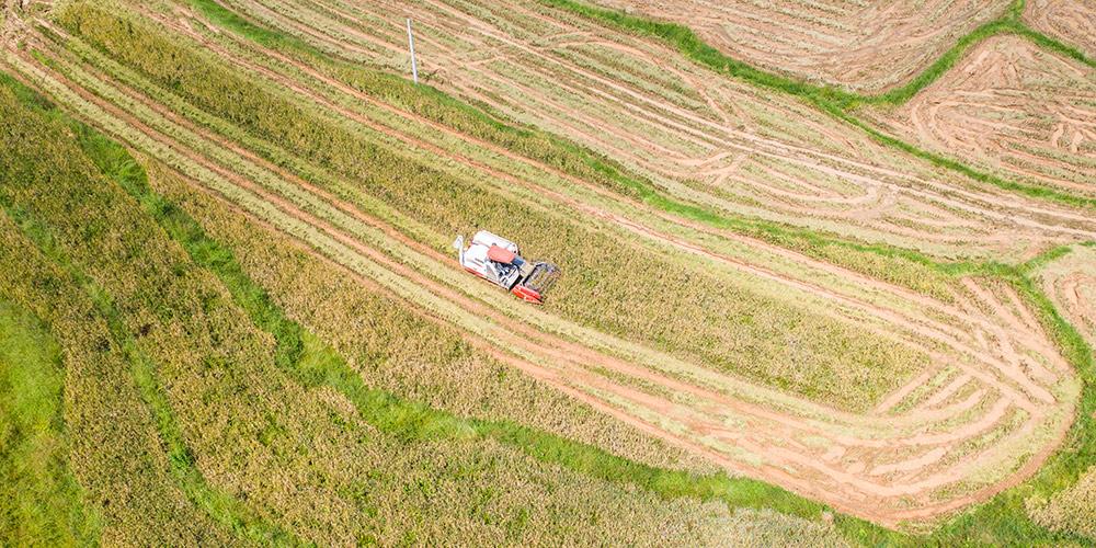 Começa a temporada da colheita de arroz em Guizhou