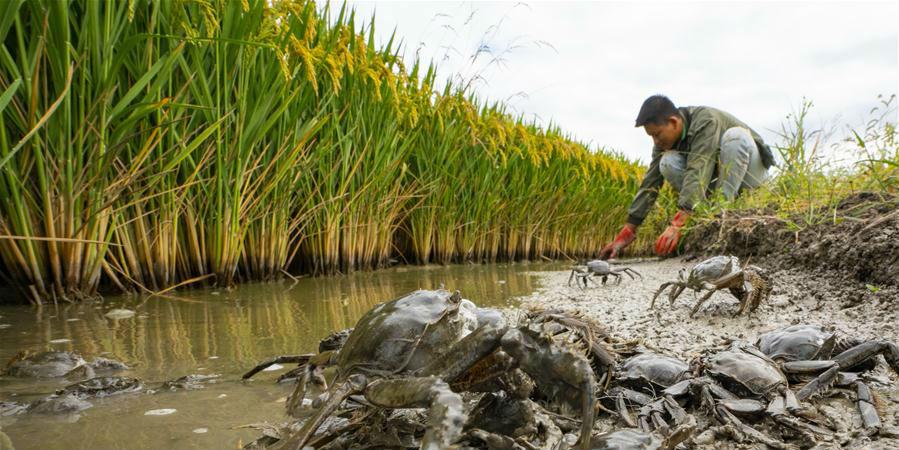 Plantação de arroz integrado com caranguejos ajuda a aumentar a renda de agricultores em Hebei