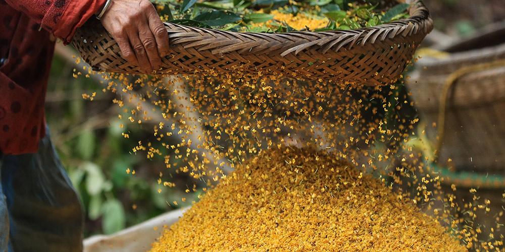 Pessoas processam flores de osmanthus para fazer doces e geleia em Sichuan