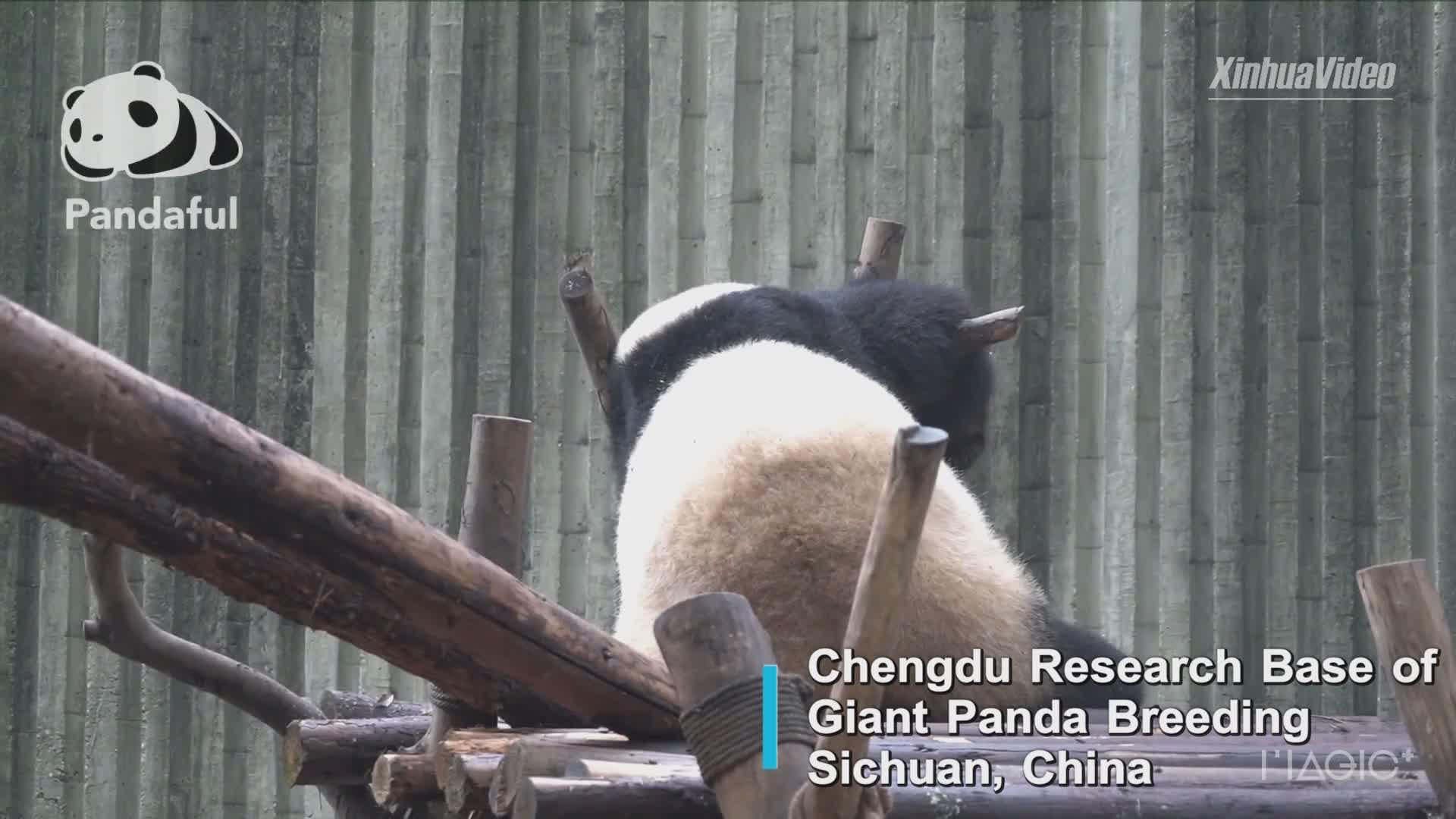 Ninguém consegue despertar um panda gigante com sono