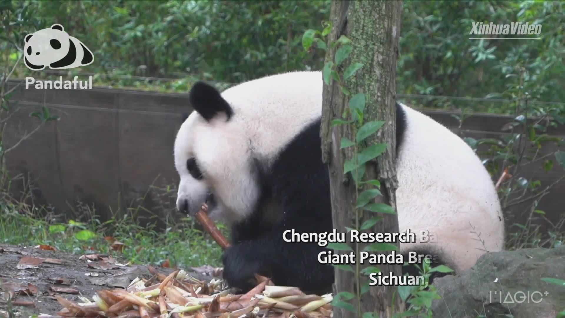 Adorável: panda come muito bambu