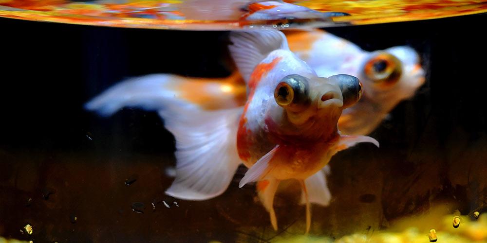 Exposição de peixes dourados inicia em Fuzhou
