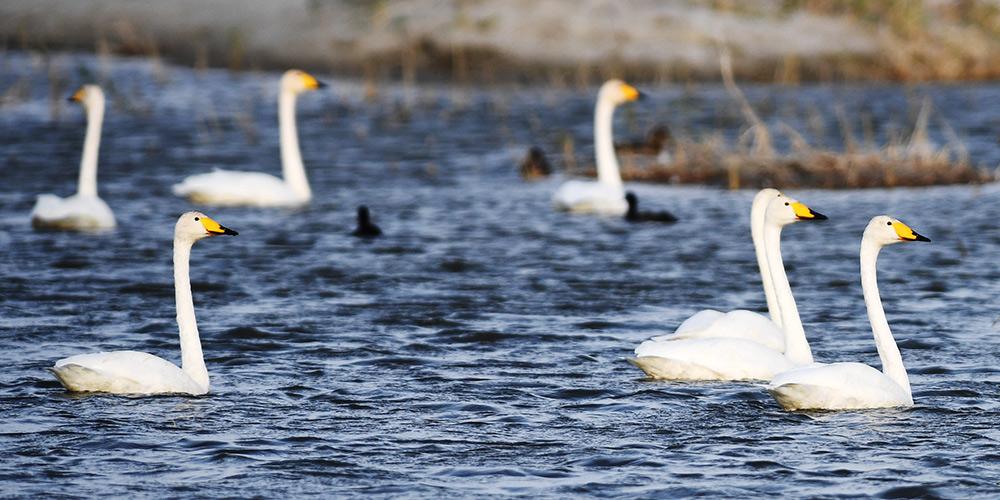 Santuário de aves migratórias no Parque Nacional do Lago Ulungur reúne diversas espécies