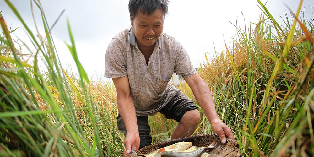 Agricultores de Guizhou colhem arroz e capturam peixes em arrozais