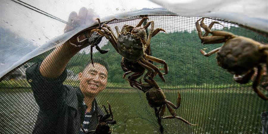Agricultor de Guizhou desenvolve negócio de criação de caranguejos em sua vila natal