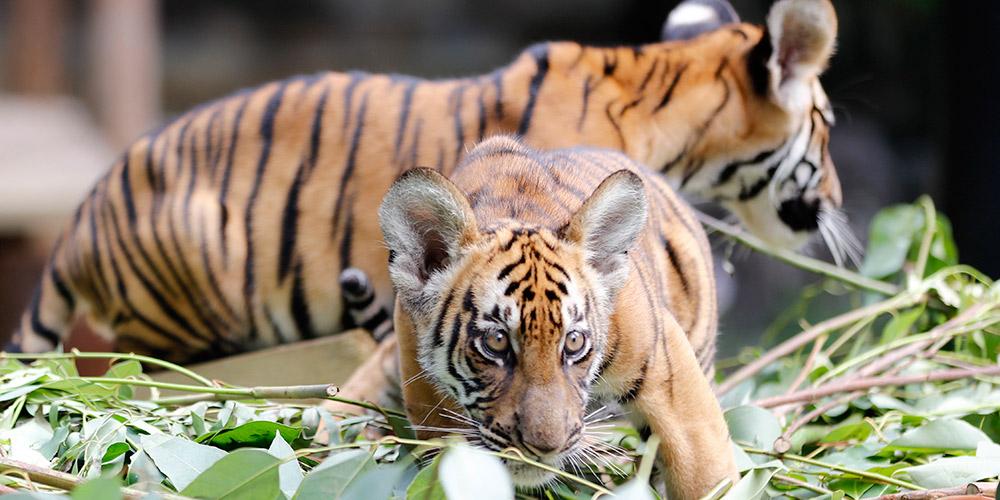 Filhotes gêmeos de tigre-do-sul-da-China completam 100 dias em zoológico em Guangzhou