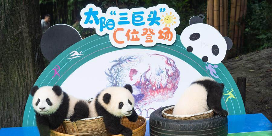Filhotes de panda-gigante fazem estreia pública em Chengdu
