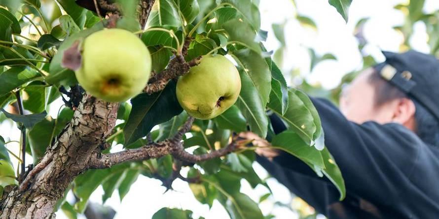 Agricultores colhem peras-maçã em Jilin, nordeste da China