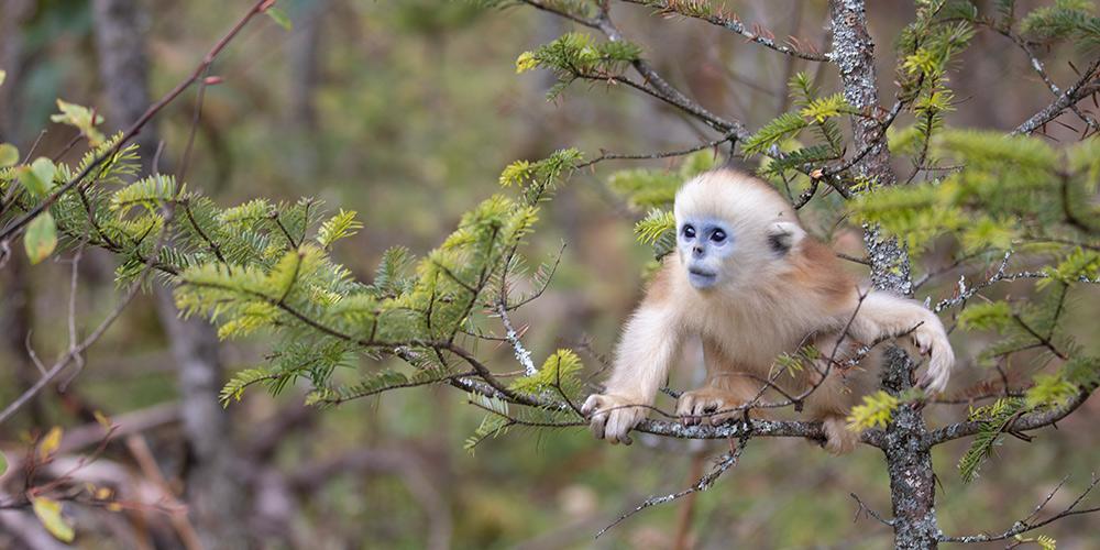 Número de macacos-dourados cresce em Shennongjia e chega a quase 1.500