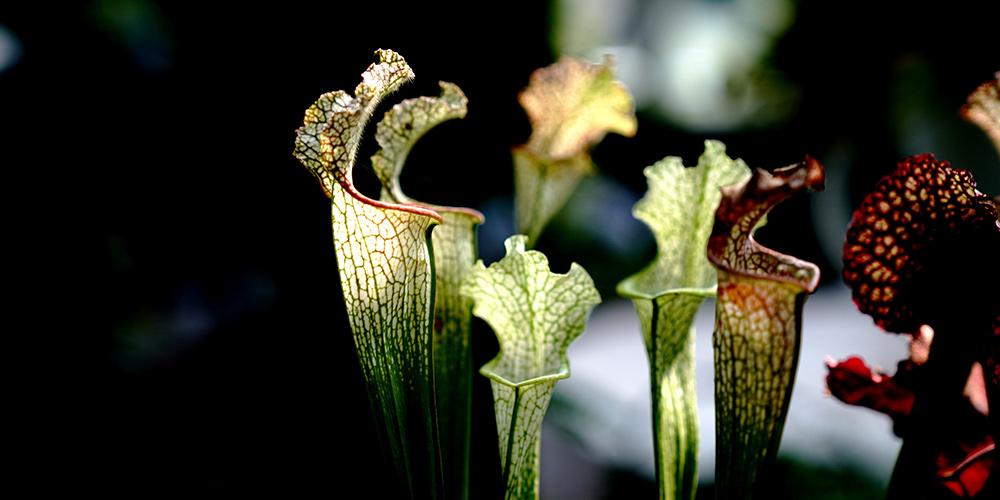 Fotos: plantas carnívoras em exposição em Shanghai