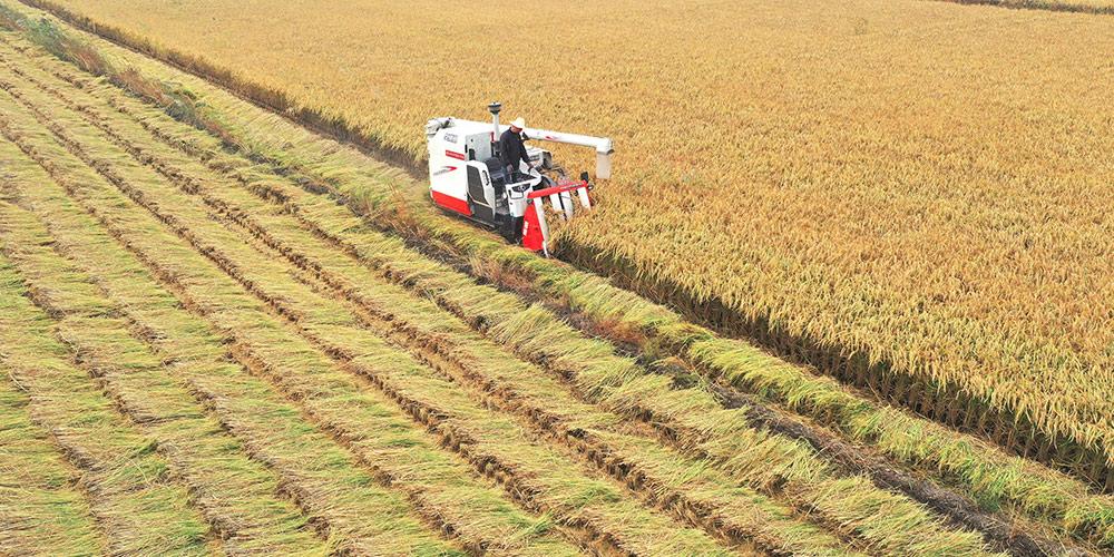 Agricultores iniciam colheita de arroz em Tangshan