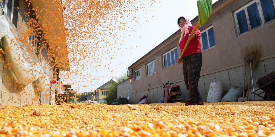 Agricultores celebram colheita abundante em Qingdao, norte da China
