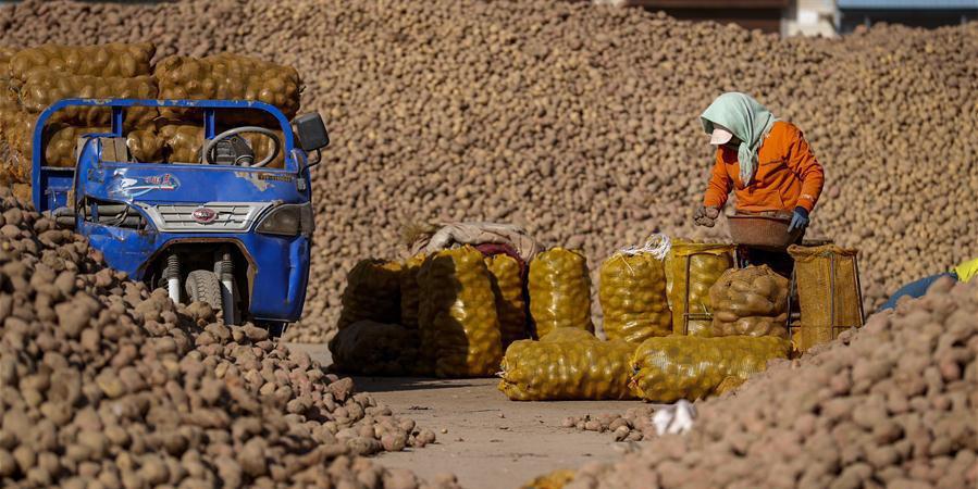 1,6 milhão de toneladas de batatas será colhido no distrito de Xiji, noroeste da China