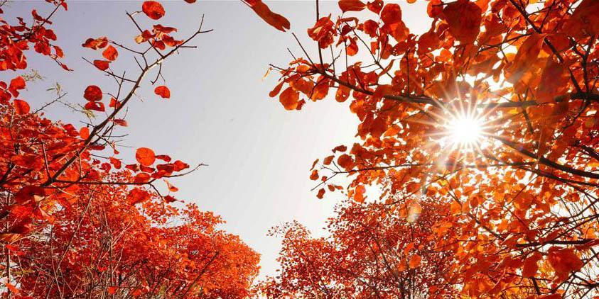 Cenário de folhas vermelhas na montanha Hongfeng na vila de Chaiguan, norte da China