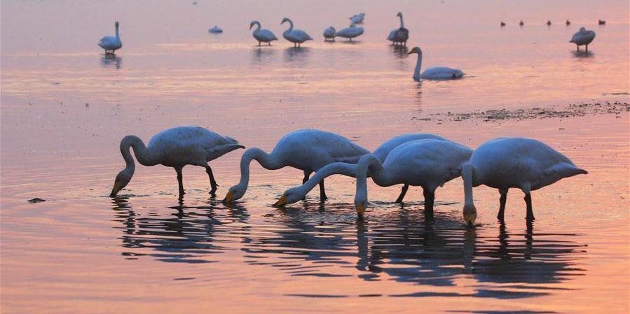 Cisnes em lago em Shandong
