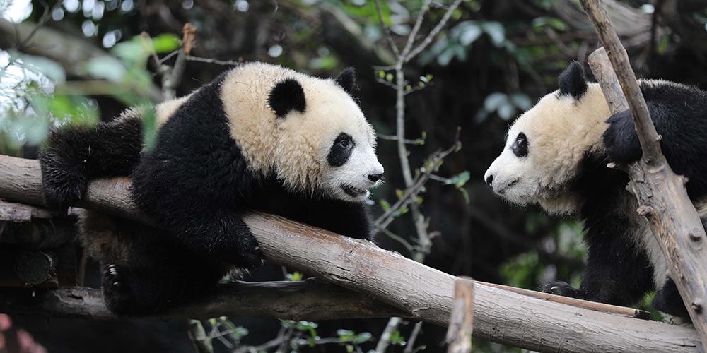 Cidade de Chengdu celebra Dia Mundial do Panda
