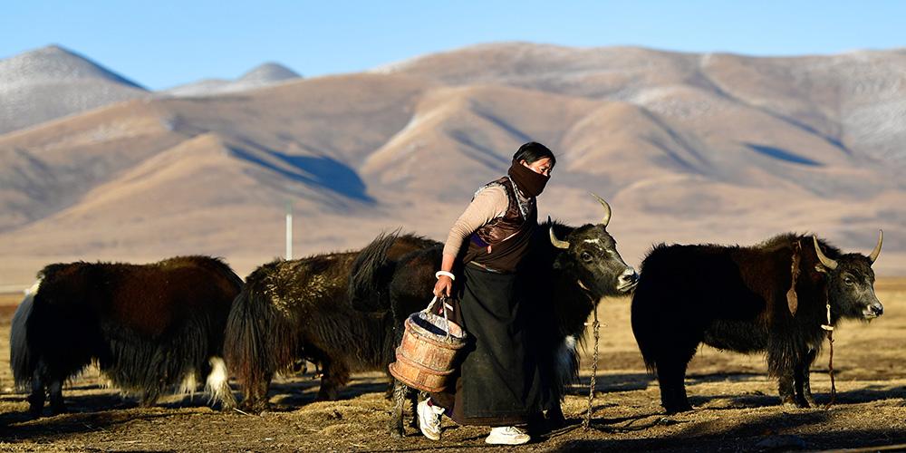 """Qinghai amplia criação """"ecológica"""" de gado"""