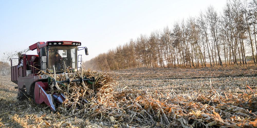 Colheita de grãos entra em fase final na província de Jilin