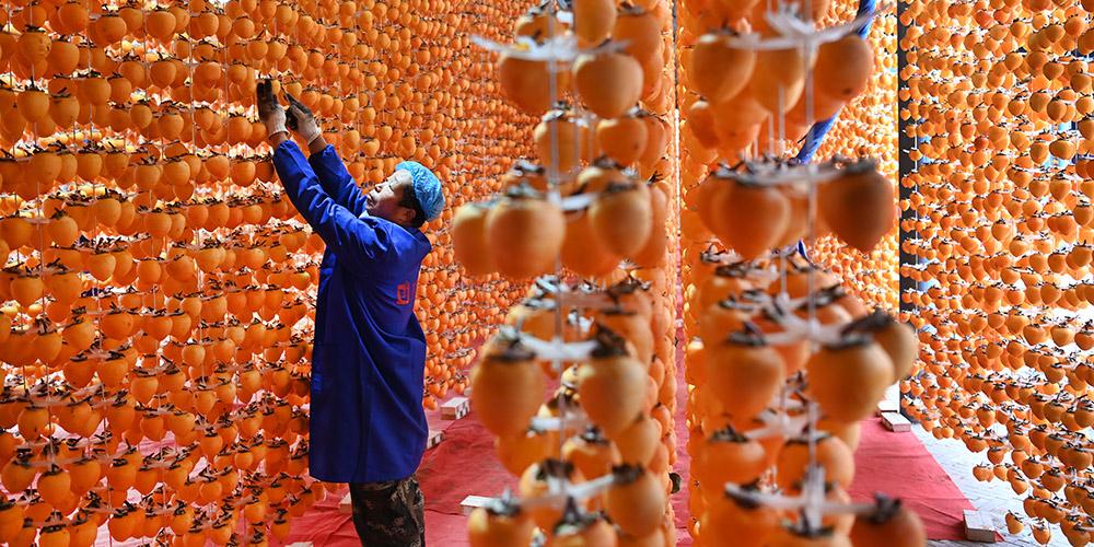 Produção de caqui impulsiona aumento de renda no distrito de Fuping, província de Shaanxi
