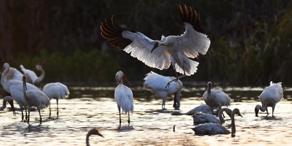 Aves migratórias chegam a pantanal perto do lago Poyang