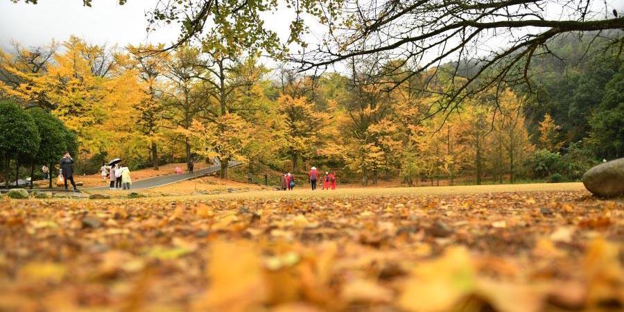 Turistas apreciam paisagem das árvores de ginkgo em Hunan
