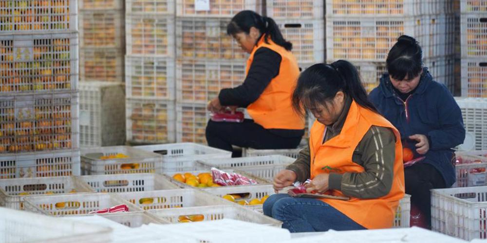 Agricultores embalam laranjas de umbigo para entrega em Jiangxi