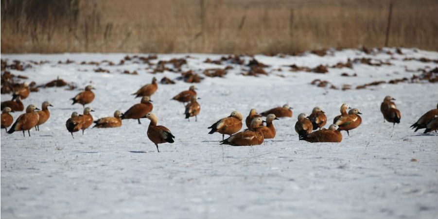Aves migratórias em pastagem da norte da China