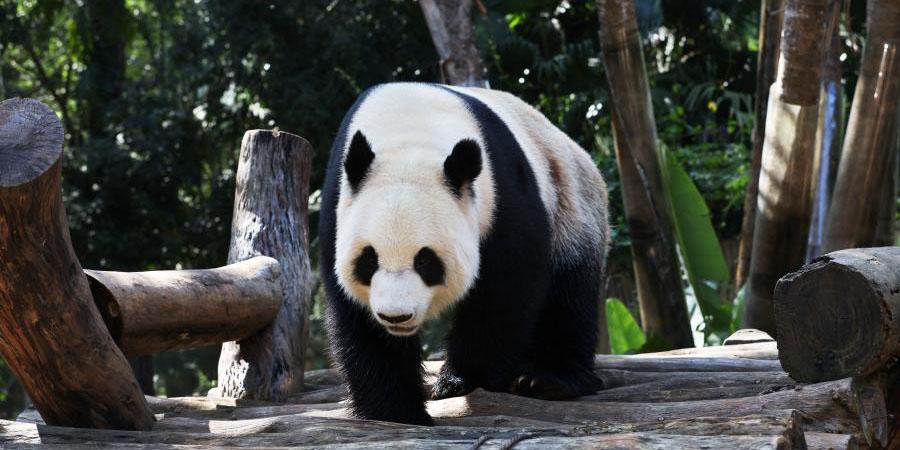 Pandas gigantes brincam no Parque da Vida Selvagem e Jardim Botânico Tropical de Hainan em Haikou