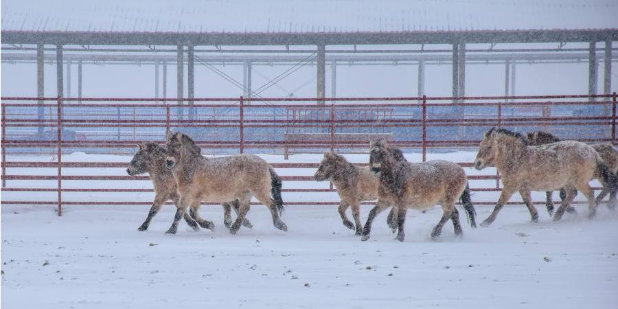 Cavalos-de-Przewalski no distrito de Jimsar em Xinjiang